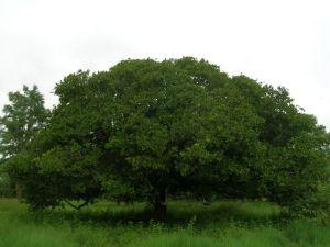 Anacardium occidentale tree